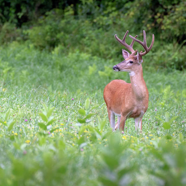 Photograph - Big Buck by Bill Wakeley