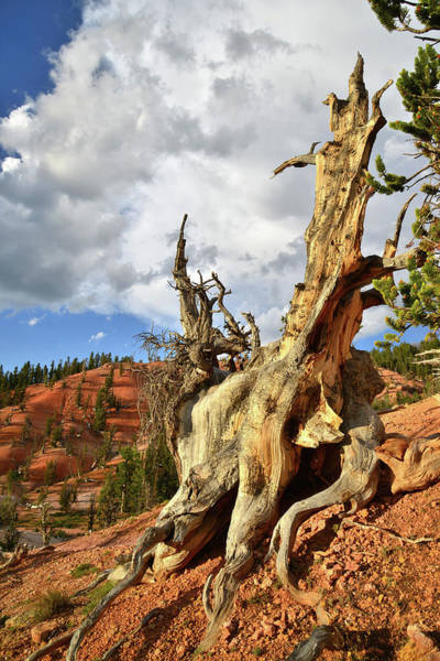 Photograph - Big Cloud Over Twisted Forest by Ray Mathis