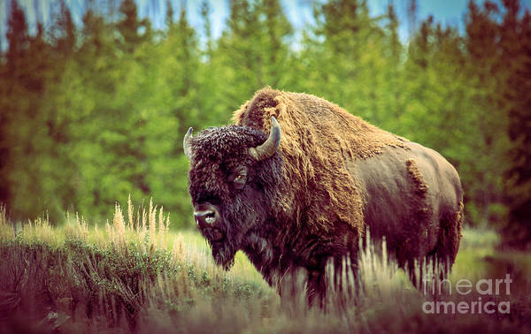 Hoofed Wall Art - Photograph - Big Daddy by Robert Bales
