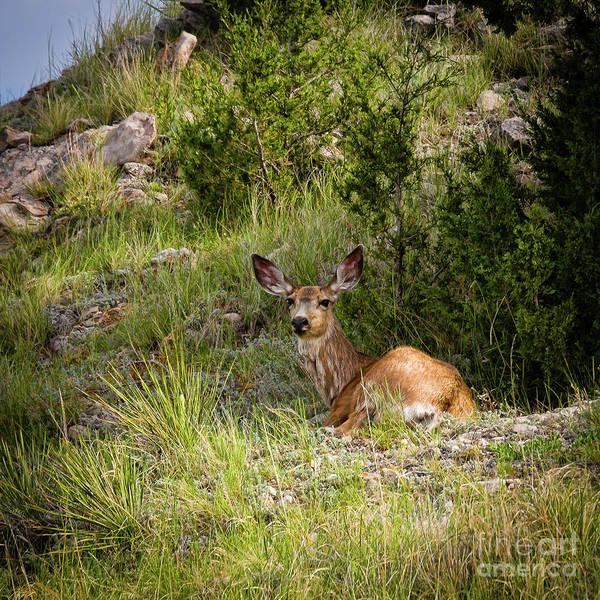 Photograph - Big Ears by Jon Burch Photography