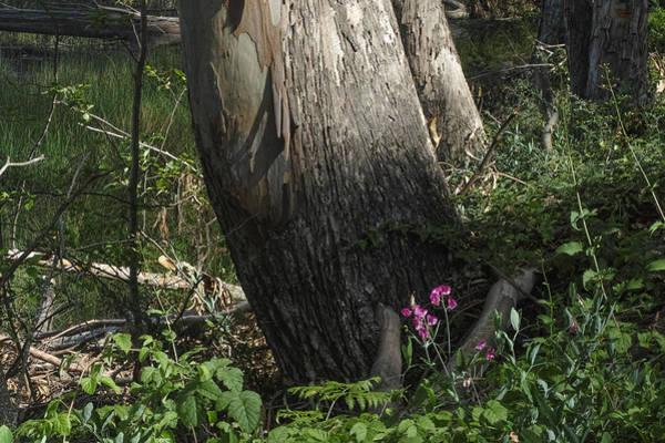 Photograph - Big Eucalyptus Little Flower by Peter Dyke