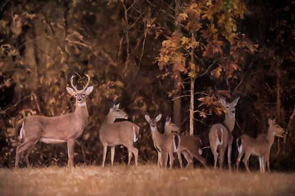 Painting - Big Family Whitetail Deer Art by Jai Johnson