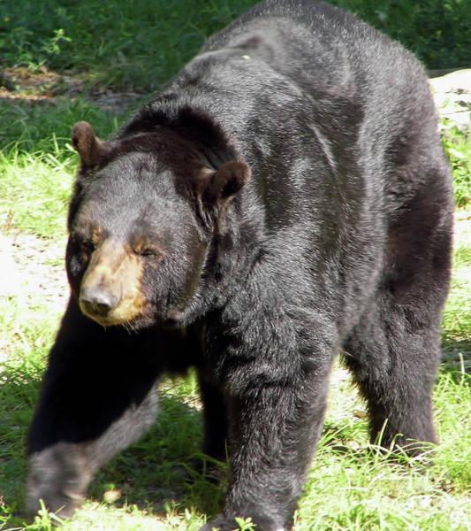 Photograph - Big Florida Bear by D Hackett