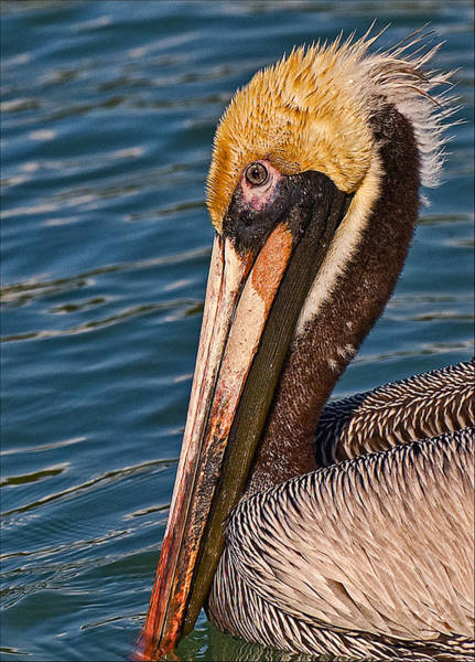 Photograph - Big Hickory Pelican by Ginger Wakem