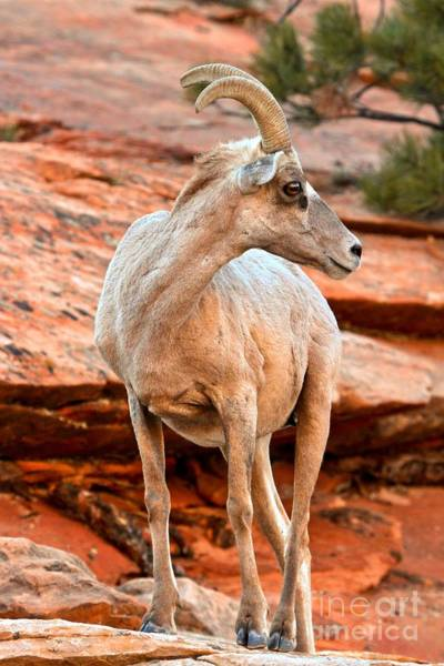 Photograph - Big Horn On Red Rocks by Adam Jewell