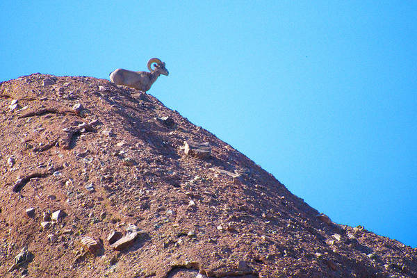 Wall Art - Photograph - Big Horn On The Mountain by Richard Henne