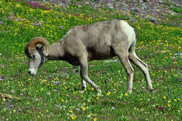 Photograph - Big Horn Ram Eating Flowers In Glacier National Park by Bruce Gourley
