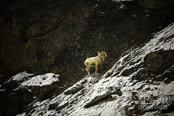 Photograph - Big Horn Ram In Snow Storm by Craig J Satterlee