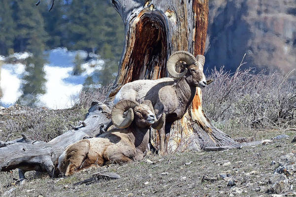 Wall Art - Photograph - Big Horn Rams by Brian Wartchow