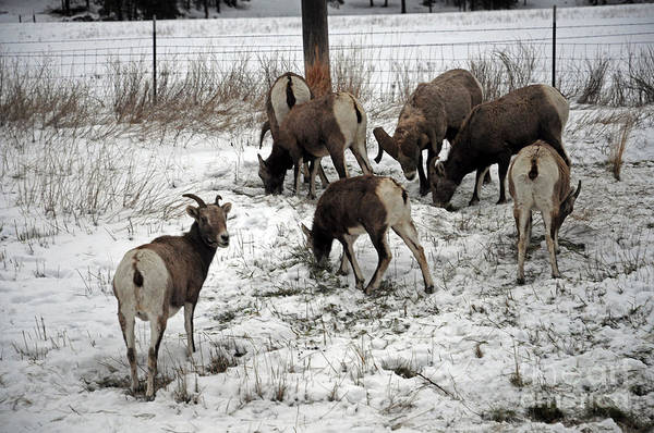 Photograph - Big Horn Sheep  Rt 200 Mt by Cindy Murphy - NightVisions