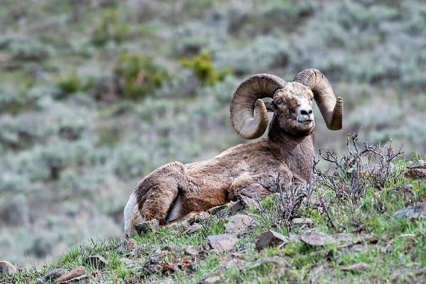 Photograph - Big Horn Sheep #2 by Scott Read