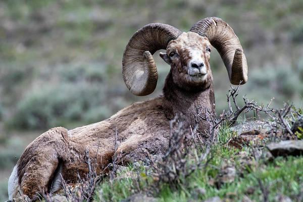 Photograph - Big Horn Sheep #3 by Scott Read