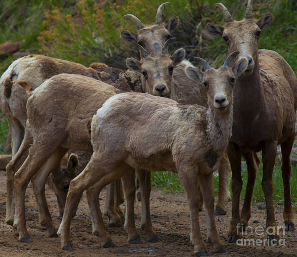 Photograph - Big Horn Sheep by Barbara Schultheis