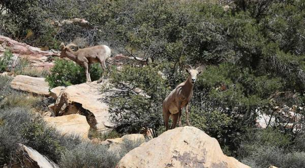 Photograph - Big Horn Sheep  by Christy Pooschke