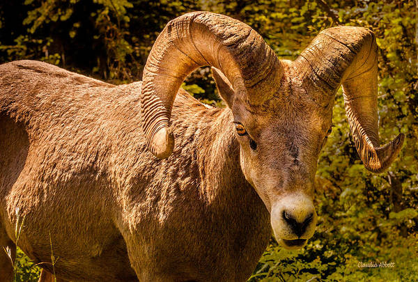 Photograph - Big Horn Sheep by Claudia Abbott