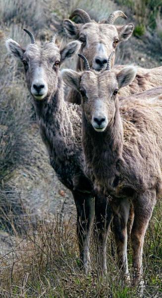 Wall Art - Photograph - Big Horn Sheep by Daniel Hagerman