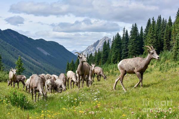 Wall Art - Photograph - Big Horn Sheep by Paul Quinn