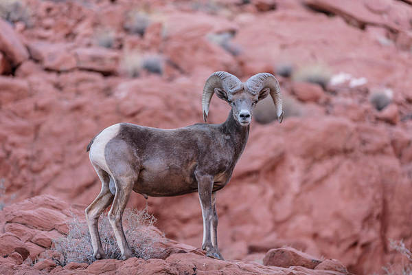 Photograph - Big Horn Sheep Valley Of Fire by John McGraw