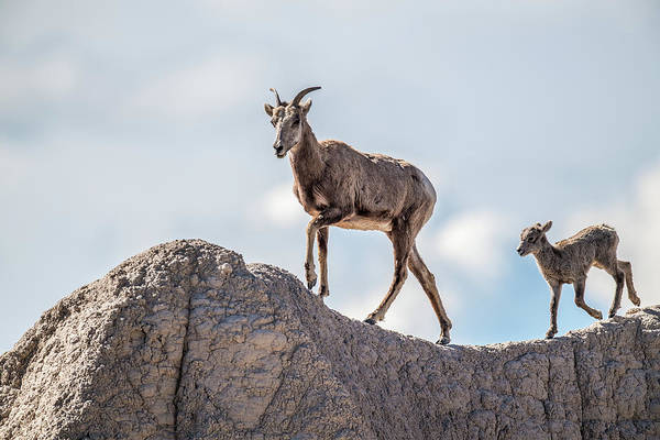Wall Art - Photograph - Big Horns Out For A Stroll by Paul Freidlund