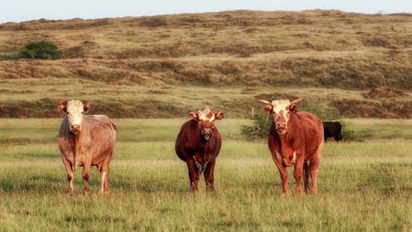 Photograph - Big Island Cows by Susan Rissi Tregoning