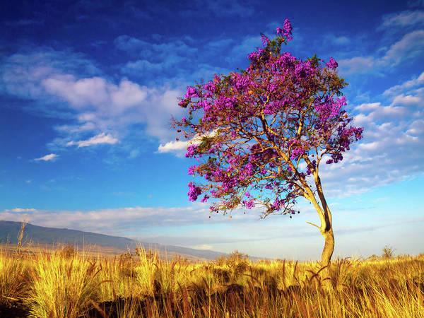 Photograph - Big Island Jacaranda Tree by Christopher Johnson