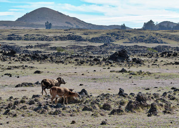 Photograph - Big Island Sheep by Susan Rissi Tregoning