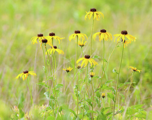 Photograph - Big Meadows Black-eyed Susans by Lara Ellis