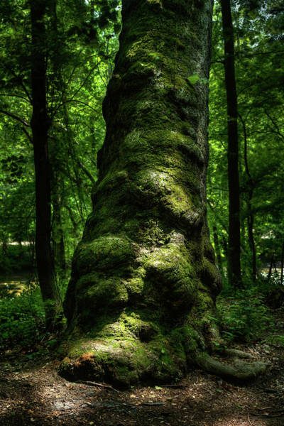 Photograph - Big Moody Tree In Forest by Dennis Dame