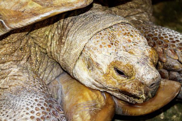 Photograph - Big Old Tortoise by Bob Slitzan