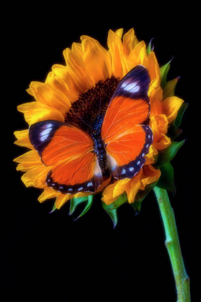 Photograph - Big Orange Butterfly On Sunflower by Garry Gay