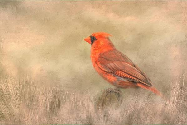 Cardinal Mixed Media - Big Red by Steven Richardson