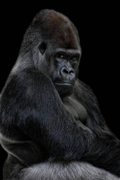 Monkey Photograph - Big Silverback by Joachim G Pinkawa