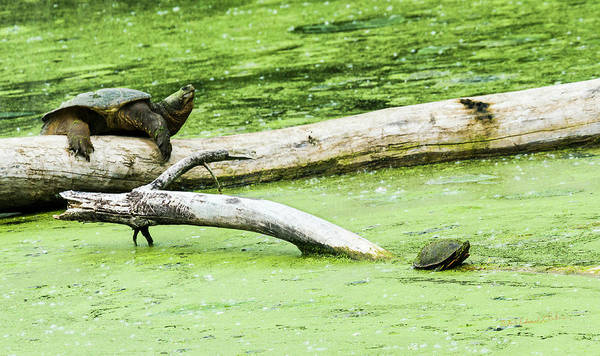 Photograph - Big Small Snapper Painted Turtles by Edward Peterson