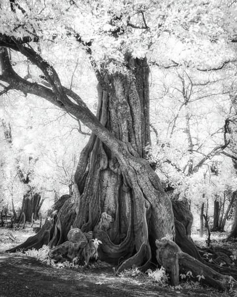 Photograph - Big Tree by Dianna Lynn Walker