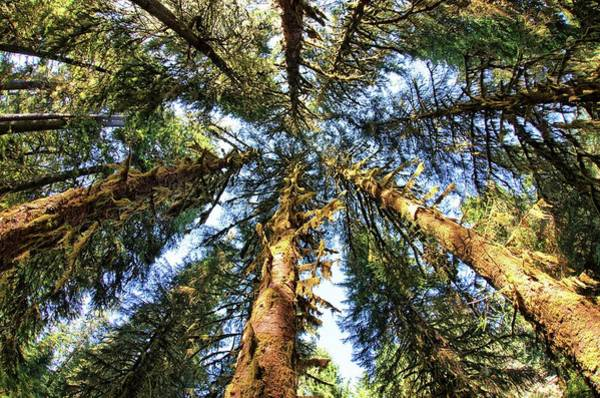 Big Trees In Olympic National Park Art Print