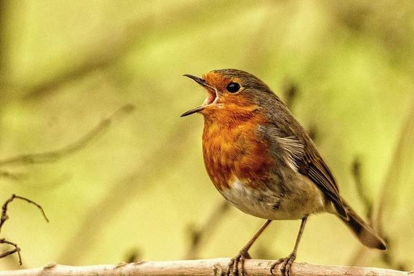 Photograph - Big Voice Robin  by Cliff Norton