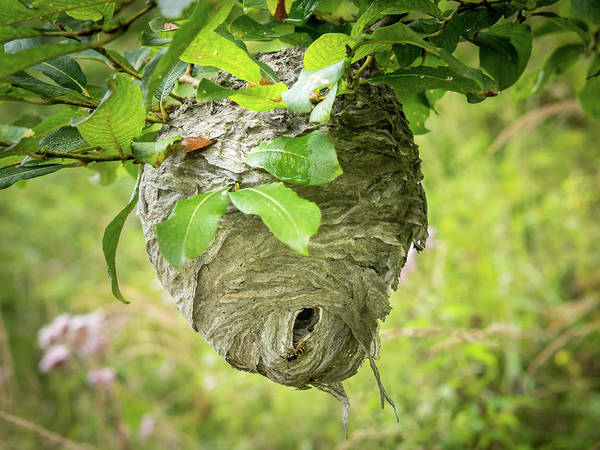 Empty Nest Wall Art - Photograph - Big Wasp's Nest Hanging On A Branch Of A Bush by Stefan Rotter