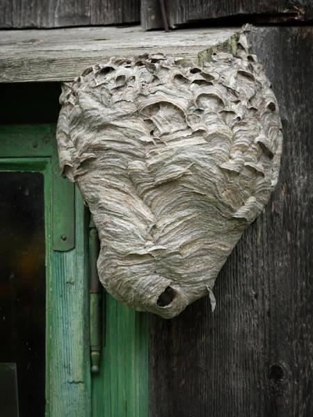 Empty Nest Wall Art - Photograph - Big Wasp's Nest On A Wooden Wall Beside A Window by Stefan Rotter