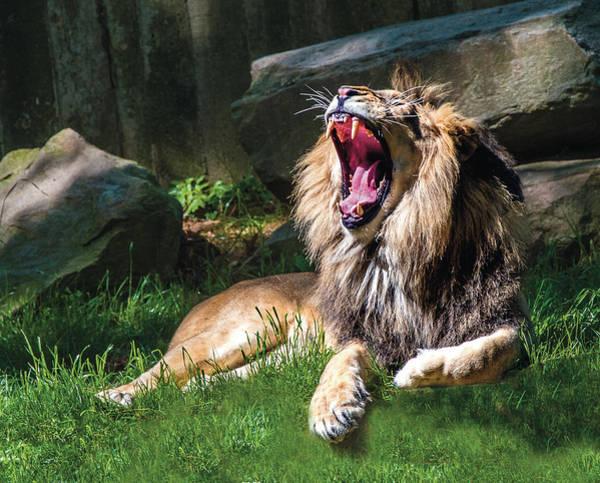 Photograph - Big Yawn by William Bitman