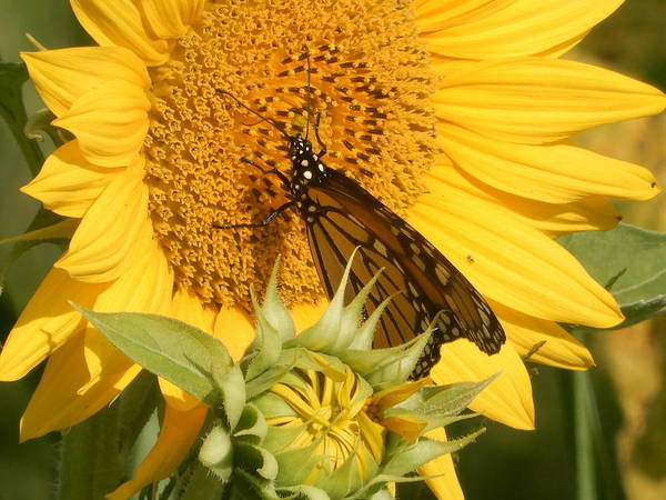 Photograph - Big Yellow And Monarch by Tina M Wenger