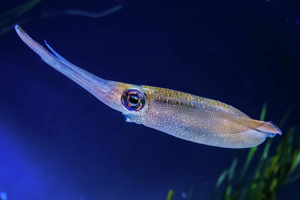 Bigfin Reef Squid Photograph - Bigfin Reef Squid by David A Litman