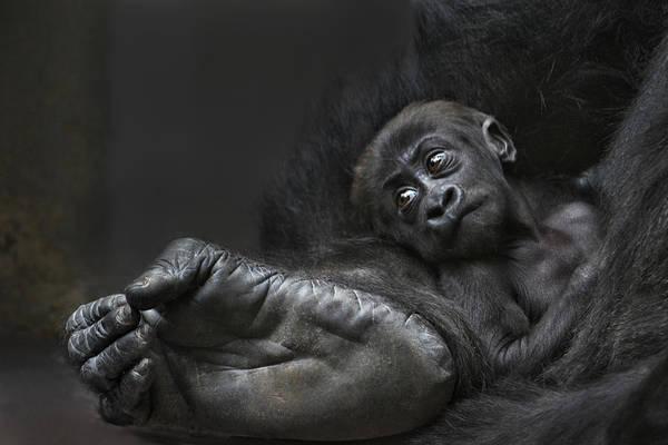 Monkey Wall Art - Photograph - Bigfoots Baby by Joachim G Pinkawa