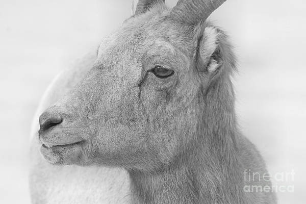 Photograph - Bighorn Ewe Black And White by Adam Jewell