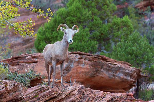 Goat Rocks Photograph - Bighorn Ewe by Brian Knott Photography