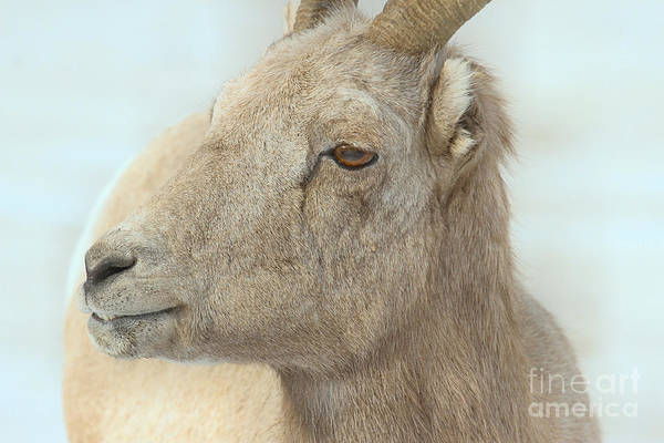 Photograph - Bighorn Ewe Closeup by Adam Jewell