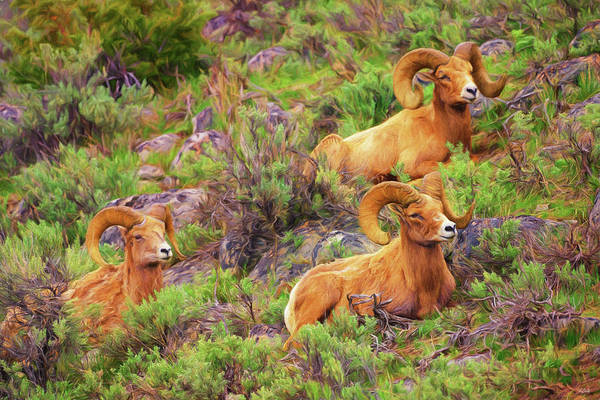 Photograph - Bighorn Impressions by Greg Norrell