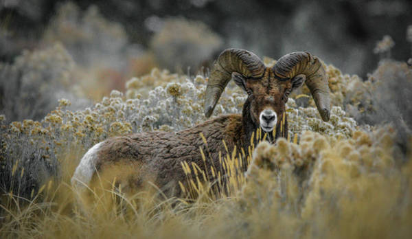 Photograph - Bighorn In Sage by Jason Brooks
