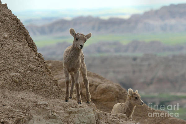 Photograph - Bighorn Junior Scout by Adam Jewell