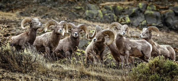 Photograph - Bighorn Line Up by Wes and Dotty Weber