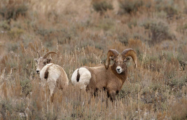 Photograph - Bighorn Mates by Ronnie and Frances Howard